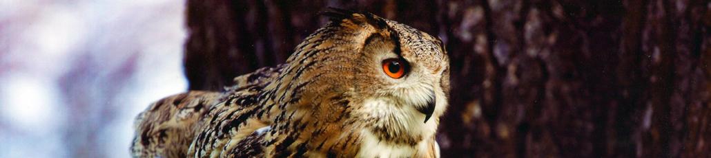 Dalhousie Falconry • Falconry Scotland   The Ultimate